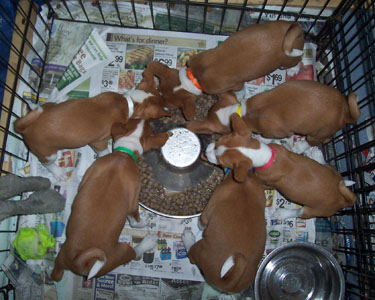 Worry Wort Kennels Basenji Litters